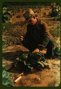 Jim Norris, homesteader, cutting a head of cabbage, Pie Town, New Mexico  (LOC)