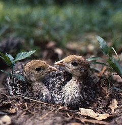 Four-week-old wild turkey poults at Fisheating Creek in Glades County, Florida