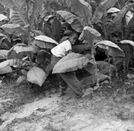 African American boy harvesting shade tobacco for the Florida Cigar Company in Quincy, Florida